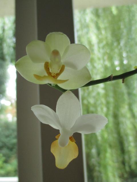 Phalaenopsis Memoria Liu Jin Chyuan 957149IMG8688