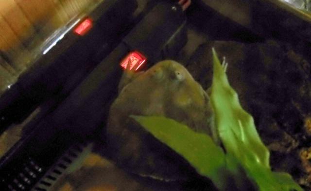 lepidobatrachus leavis 1 an sans manger ??? 9577821000307