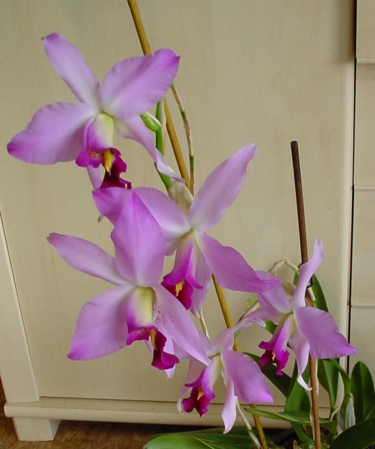 Laelia anceps subsp. dawsonii f. chilapensis (Guerrero) 963149DSC061611024x768