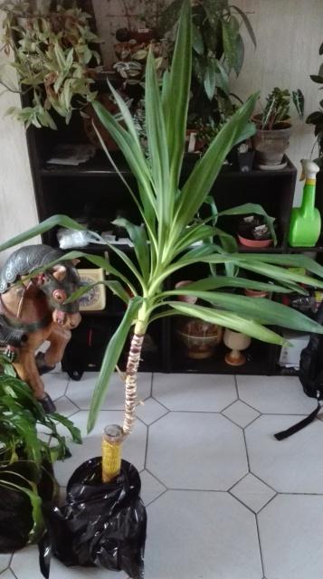 Yucca elephantipes, Dracaena, Spatiphyllum [Identifications] 972081IMG20170807201733
