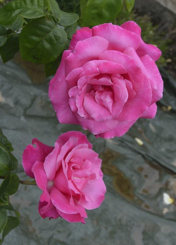 tous ces rosiers que l'on aime - floraisons - Page 2 976365roses5