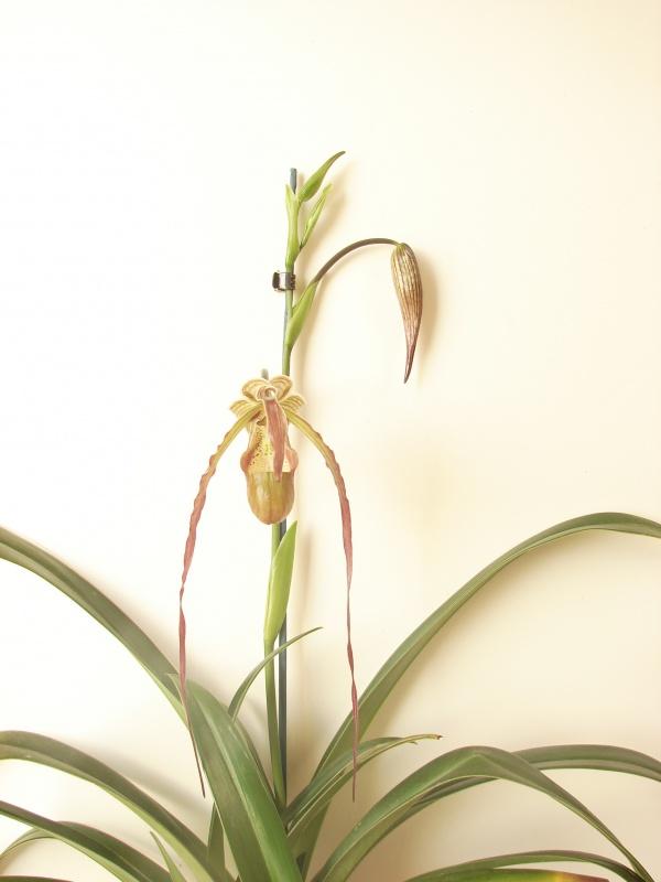 Phragmipedium Grande 'La Tuilerie' (caudatum x longifolium) 979898Flo2014au2014050501