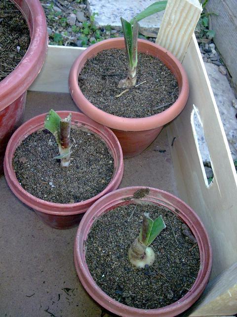 Amaryllis (hippeastrum) -culture, entretien, floraison 990678Photo039