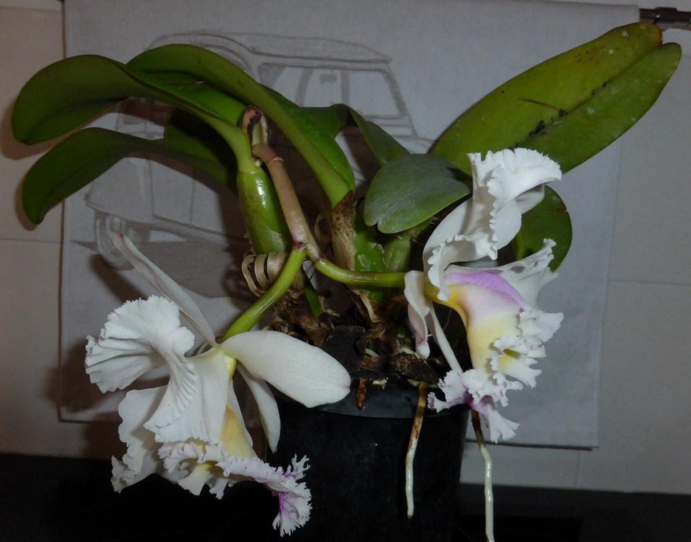 Orchidée Pérou 997022P1190367