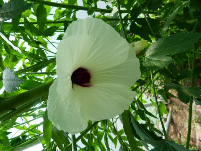 Voici mes quelques hibiscus en fleurs - Page 2 999517P1040880