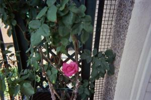 Mes rosiers  Mini_118860rosiercuisine1jpg