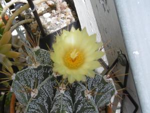 sos-cactus - Portail Mini_13088402Astrophytumornatum