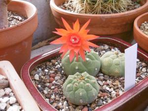 sos-cactus - Portail Mini_139100Matucanamadisoniorum