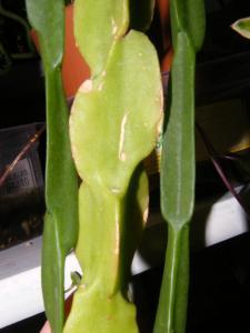 Rhipsalis paradoxa ssp paradoxa Mini_228135Nov20101094