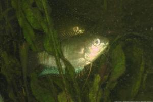 Ménagerie, plus de 3.000L d'aquariums - Page 6 Mini_345882GouramiFasciata0034