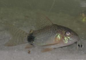 Ménagerie, plus de 3.000L d'aquariums - Page 2 Mini_361000CorydorasCaudimaculatus0002