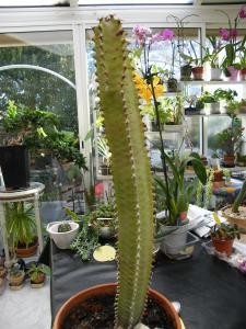 Euphorbia canariensis Mini_379339Dec2010017