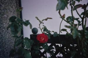 Mes rosiers  Mini_397651rosiercuisine2jpg