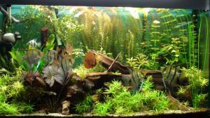 Mes bacs, une passion: l'aquariophilie!! Mini_421624DSC01657