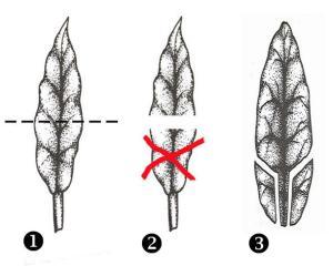 Bouture de longifolia Mini_434944longifoliabouture