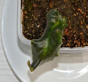 Bouture de longifolia Mini_453433Brassbouture02