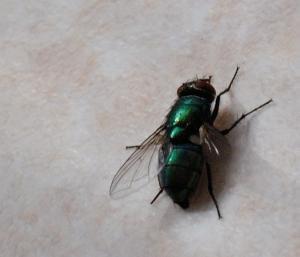 Envahi de mouches depuis plusieurs mois ... besoin d'aide Mini_457684DSC0504