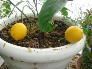 Des citrons en veux tu , en voilà Mini_479403191210