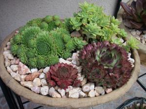 succulente au jardin (sempervivum) Mini_489266Plantesgrassespote011