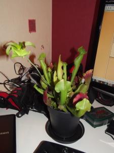 Sarracenia mal au point en terrarium Mini_531891DSCF0791