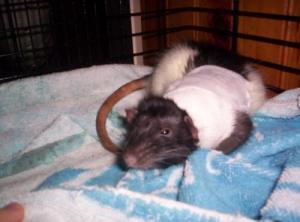 Le rat saucisson - Protéger une plaie après opération Mini_629367murtag10