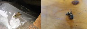 Encore un nid de guepes sous toiture Mini_651305Gupesgrenier