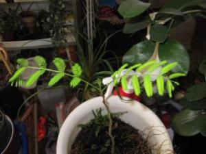 arbre à soie ou albizia julibrissin Mini_704790IMG2840JPG