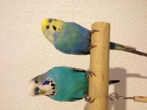 quel est la mutation de mon bleu ? Mini_716865photo6