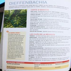 Dieffenbachia seguine reflector Mini_742897dIEFFENBACHIAGRANDESPLANTESDINTERIEURCDELVAUX