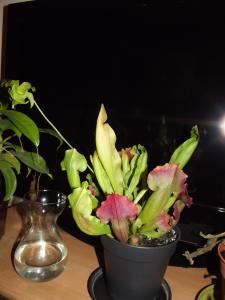 Sarracenia mal au point en terrarium Mini_776915DSCF0794