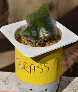 Bouture de longifolia Mini_793308Brassbabies