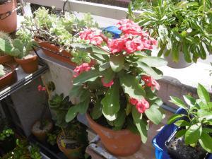Euphorbia milii  Mini_82693001Euphorbiamilii