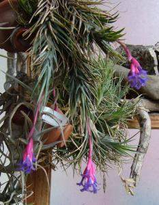 Tillandsia Tenuifolia - Màj 2015 Mini_831732P1040626