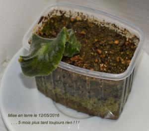 Bouture de longifolia Mini_854493Brassbouture01