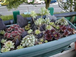 succulente au jardin (sempervivum) Mini_897875Plantesgrassesjardinire001