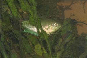 Ménagerie, plus de 3.000L d'aquariums - Page 6 Mini_926139GouramiFasciata0032