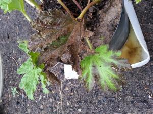 Gunnera - feuilles qui sechent Mini_94666920160820165113