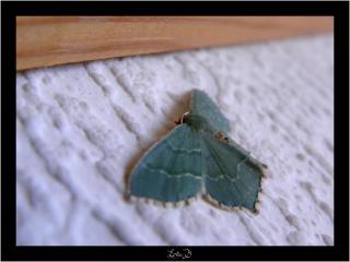 Petit papillon d'un beau bleu vert 161147Copie_de_DSCN8355