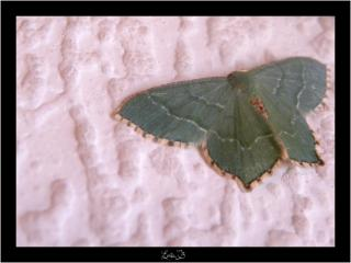Petit papillon d'un beau bleu vert 215666Copie_de_DSCN8360