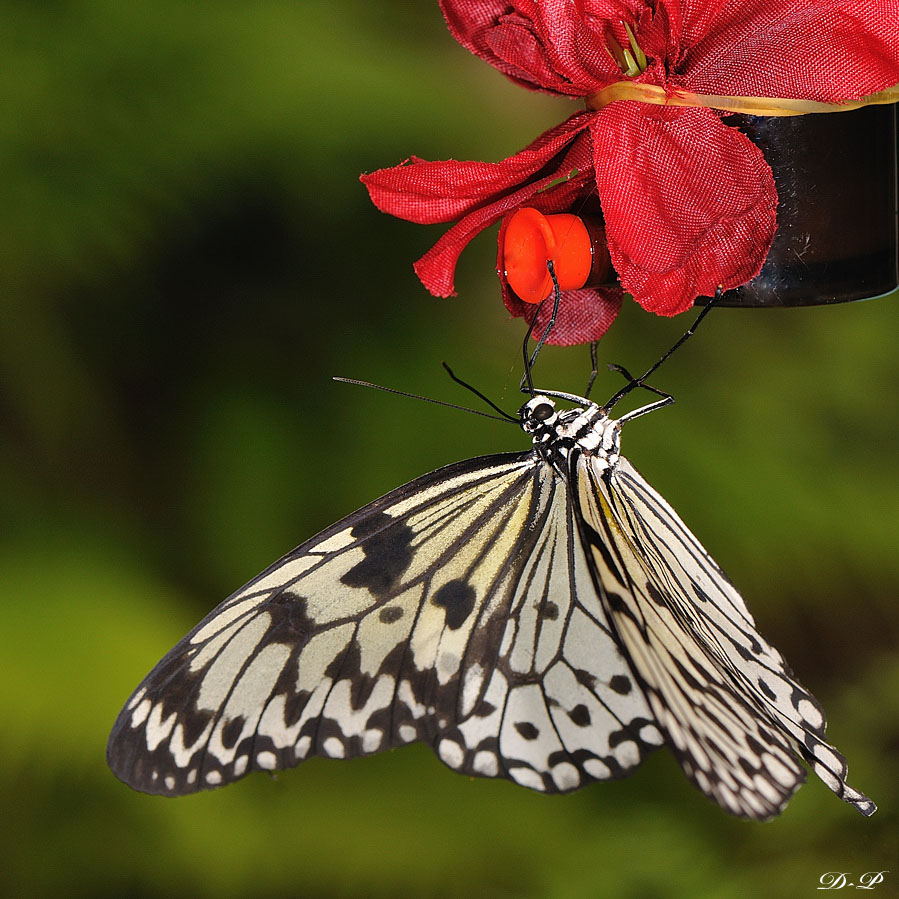 Sortie photo aux jardins des Papillons à Grevenmacher (L) 04 AVRIL 2009 - Les photos 250408Papillons_39_copie
