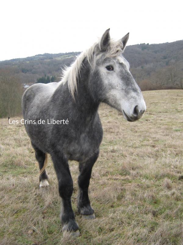 dept 63, Ulanne, percheron, réservée par une famille dans la Meuse 2010) 340249percheron_mr_espagnol_018