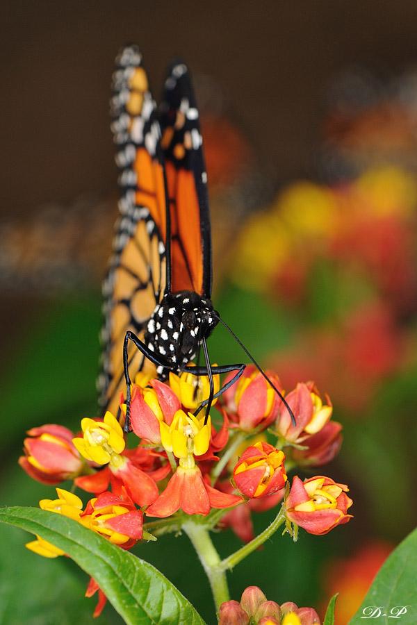 Sortie photo aux jardins des Papillons à Grevenmacher (L) 04 AVRIL 2009 - Les photos 43130Bel_Pap_2