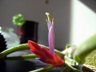 Floraison de tillandsia caput medusae 525091DSC08978_bis