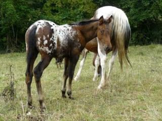visite élevage appaloosa 710026van_arizona_rock_star
