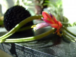 Floraison de tillandsia caput medusae 950342DSC08999bis