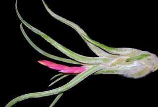Floraison de tillandsia caput medusae 10784DSC08935