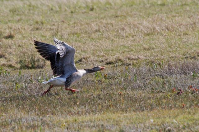 Parc ornithologique du Marquenterre 171176Marquenterre_Avril_2010_RAW_323_DxO_raw__800x600_