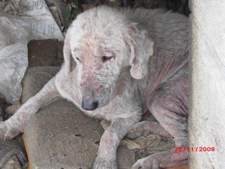 45 chiens à l'abandon dans un sale état à perpignan !!! 181197chien_3