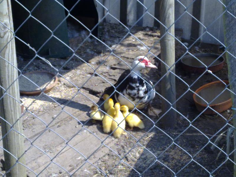 Suite à question sur nos animaux de (bonne) compagnie 186514338054me_cane_et_ses_petits_canets