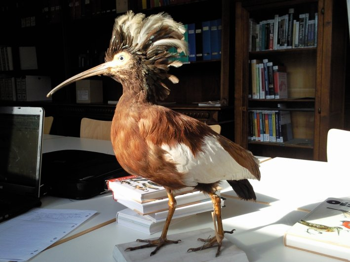 un oiseau - Ajonc - 12 octobre trouvé par Jovany 21863Ibis_huppe